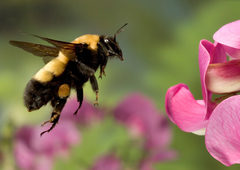 Are Bumblebees breaking the laws of Physics while Flying?