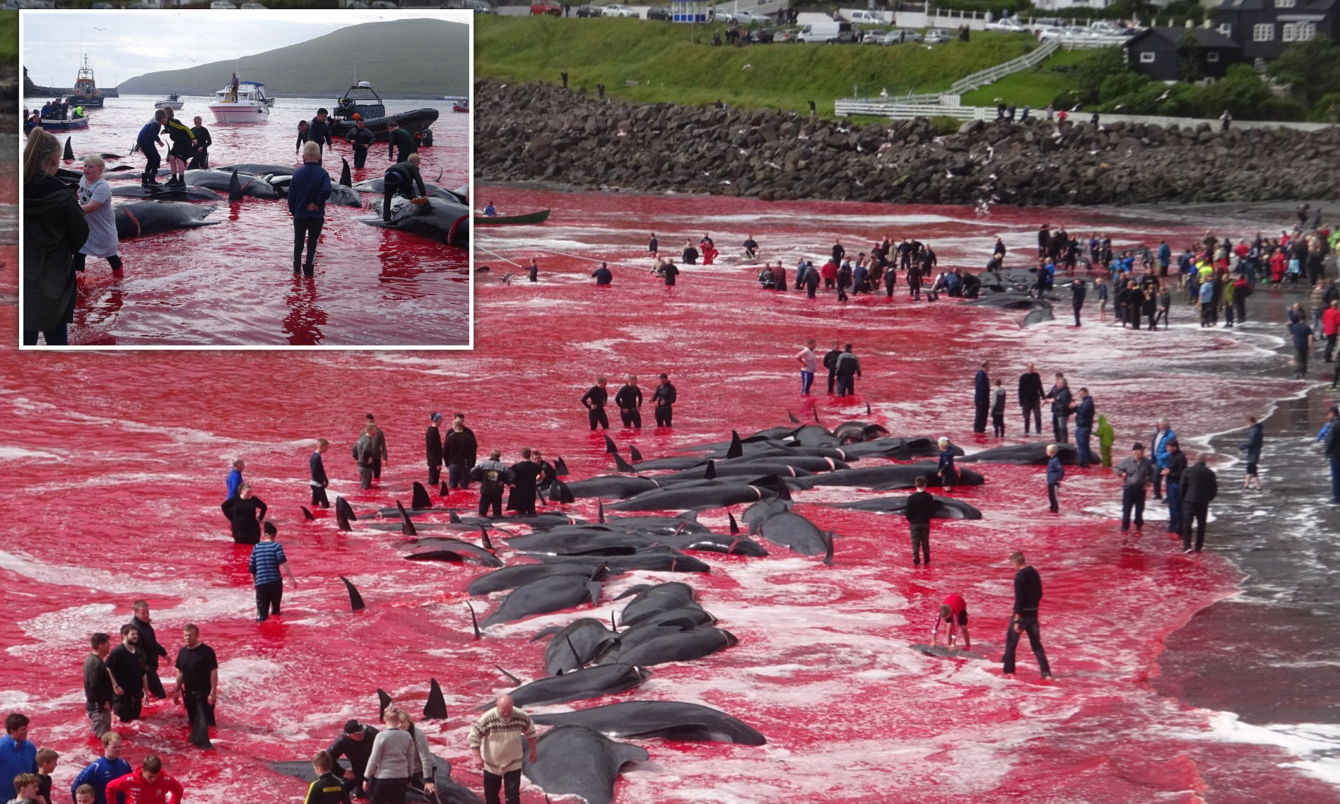 The Whale killings of Faroe Islands- Explained